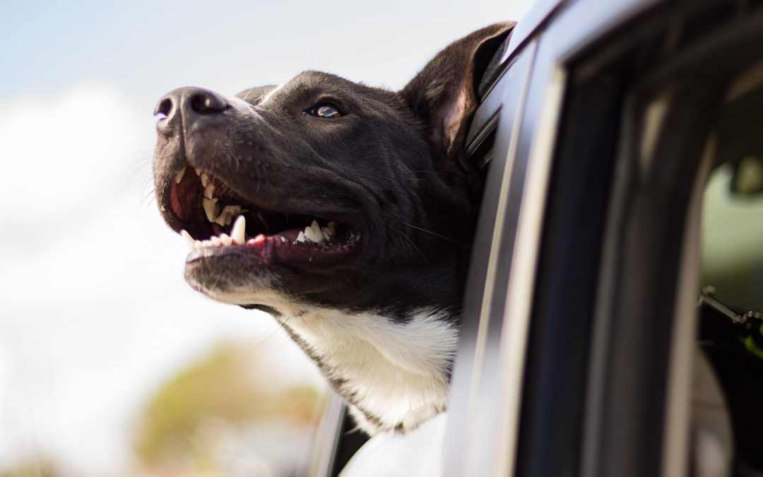 Hund im Auto transportieren – was Sie wissen sollten (Teil 5)
